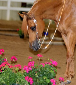 show-horse